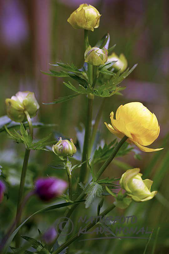 Pflanzen naturfoto honal for Pflanzen bestellen berlin